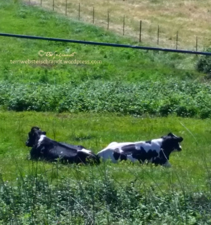 Cow-Yin-and-Yang