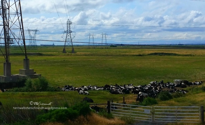 Cows-near-power-lines