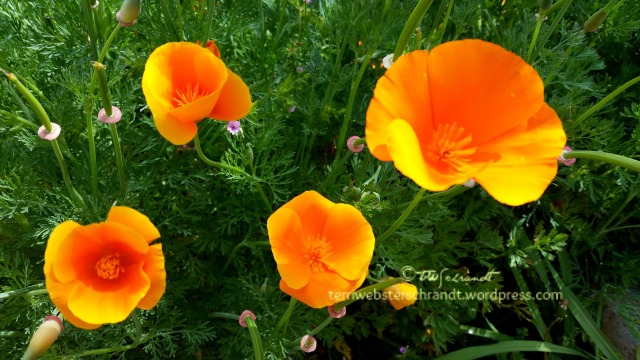 Prolific-Poppies