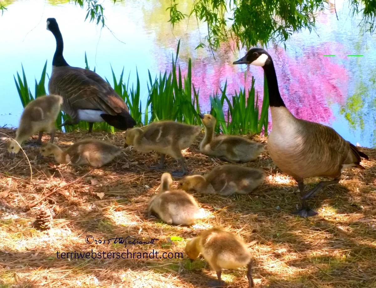 Nine-Geese-a-Laying