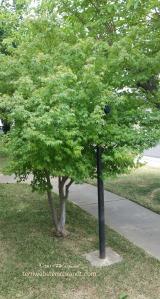 June-Maple