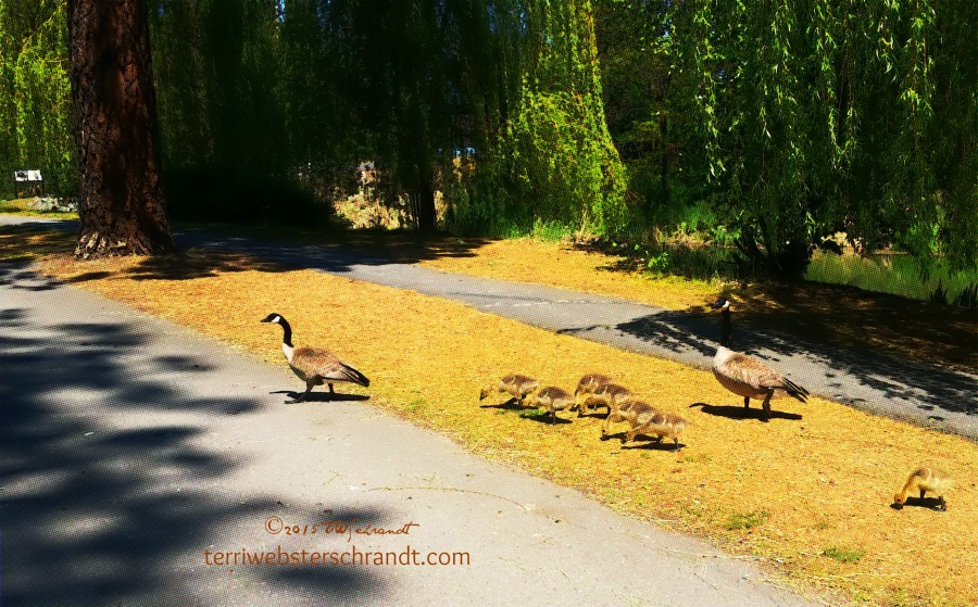 Why-do-geese-cross-the-road