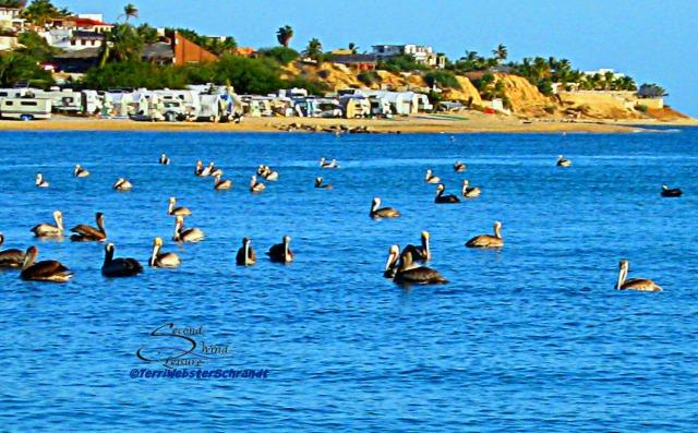 35 Pelicans