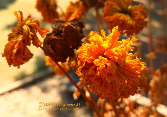 Dry-Marigolds