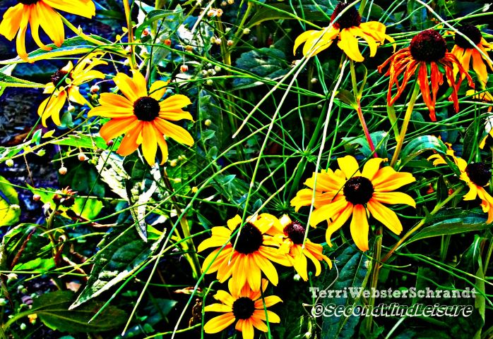Late-Summer-cone-flowers