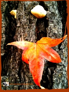 Autumn leaf on wood shows it's splendor