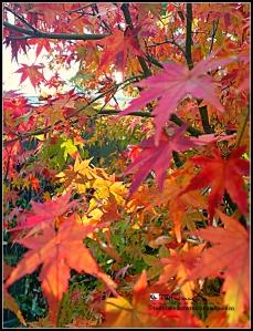 sunshine brings autumn magic to maple