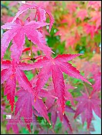 autumn maple close up