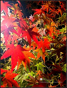 Nighttime lights up maple in a new way