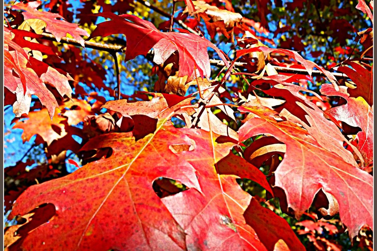 Bright red leaf colors peak in mid-November