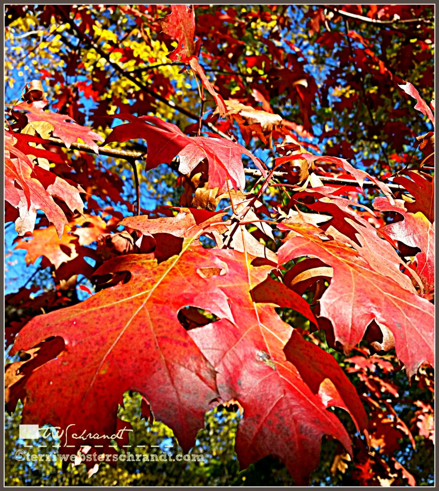 Bright red leaf colors peak in mid-November