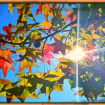 Autumn sun bursts through colorful maple leaves