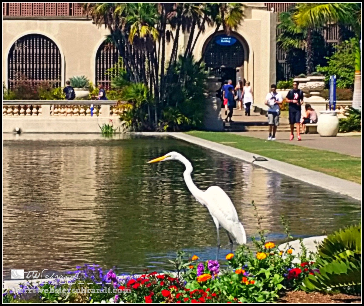 The egret knows there is a school of fish gathering in the Balboa Park Koy Pond