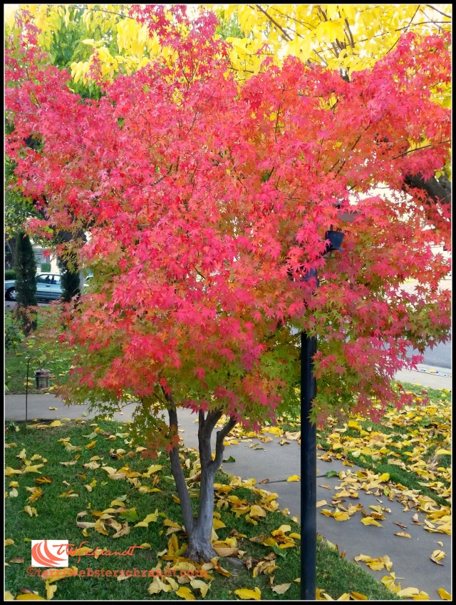 Chinese Maple In early December