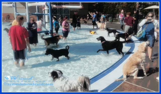 Dogs and their pets gather for Doggy Dip Day at the public pool.