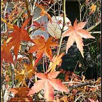 Drying Maple heading into winter dormancy.