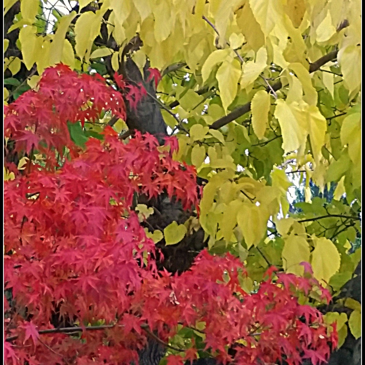Full-on Autumn for Maple and Mulberry Trees