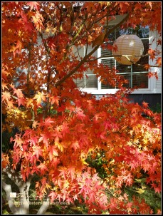 Maple in Fall Glory