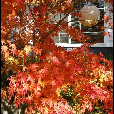 Maple in Fall Glory