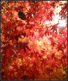 Chinese Maple at night.