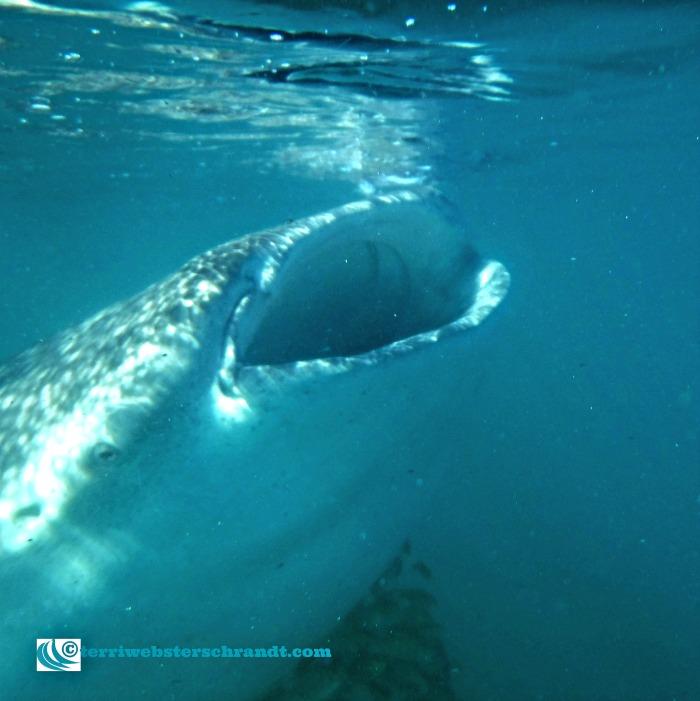 Close up a a massive whale shark