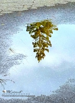 Reflection of a winter evergreen reflected in a puddle beneath my feet.