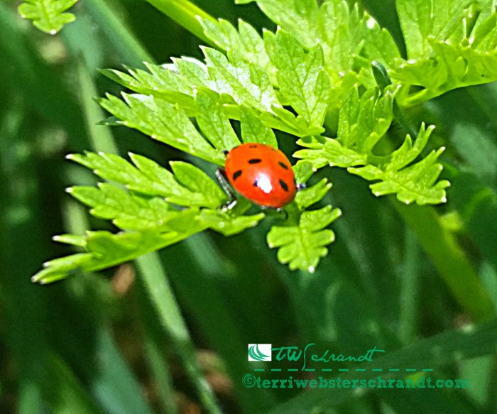 Step carefully, spring green beneath my feet, but watch out for the ladybug!