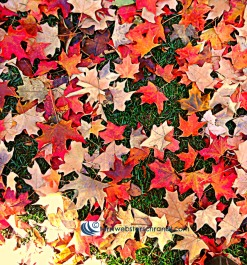 Autumn Leaves beneath my feet