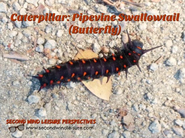 caterpillar stage of Pipevine Swallowtail butterfly