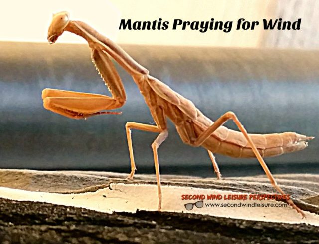 Mantis praying for wind, as it sits on my windsurf board