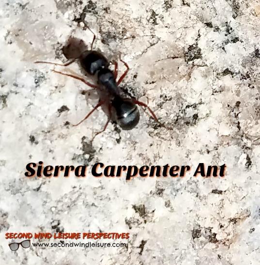 Sierra Carpenter Ant