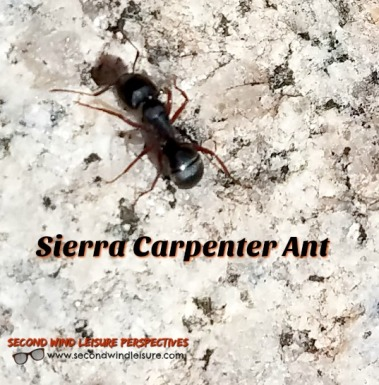 Sierra Carpenter Ant