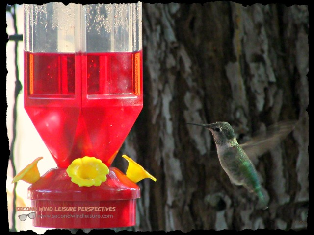 Male hummer finding food