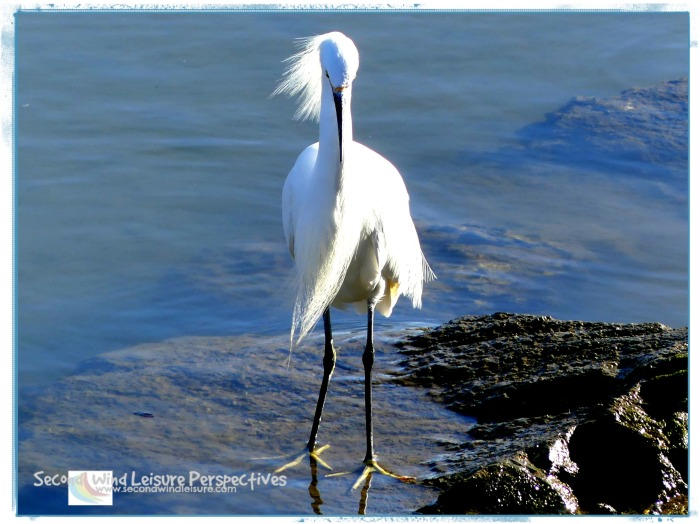 Snowy egret stands in grace