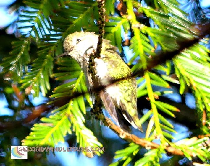 Puffed up hummingbird enjoying the rain