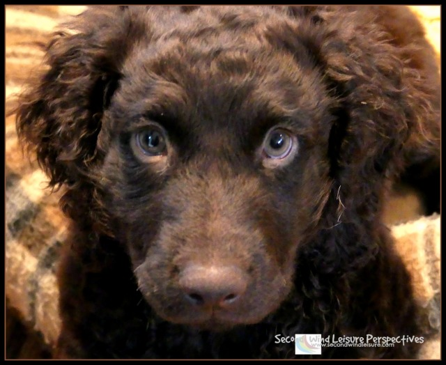 Brodie the Boykin Spaniel, 10 weeks old