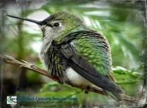 Hummingbird enjoying his shower