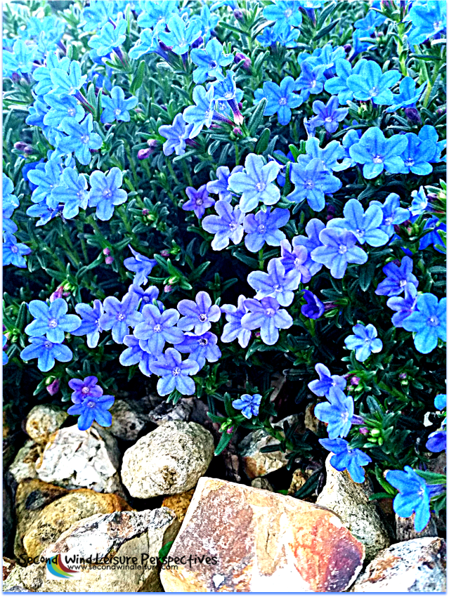 A photographic study in blue densely packed flowers.