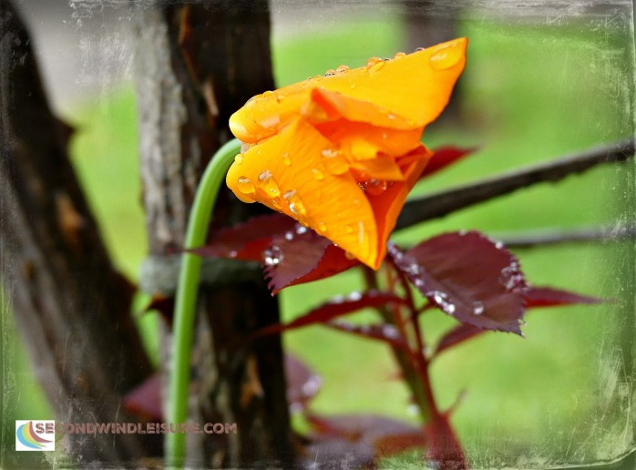 Freshly opened California poppy droops with recent raindrops.