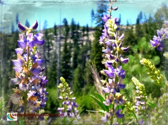 Lupine view of mountains at Mammoth Lakes