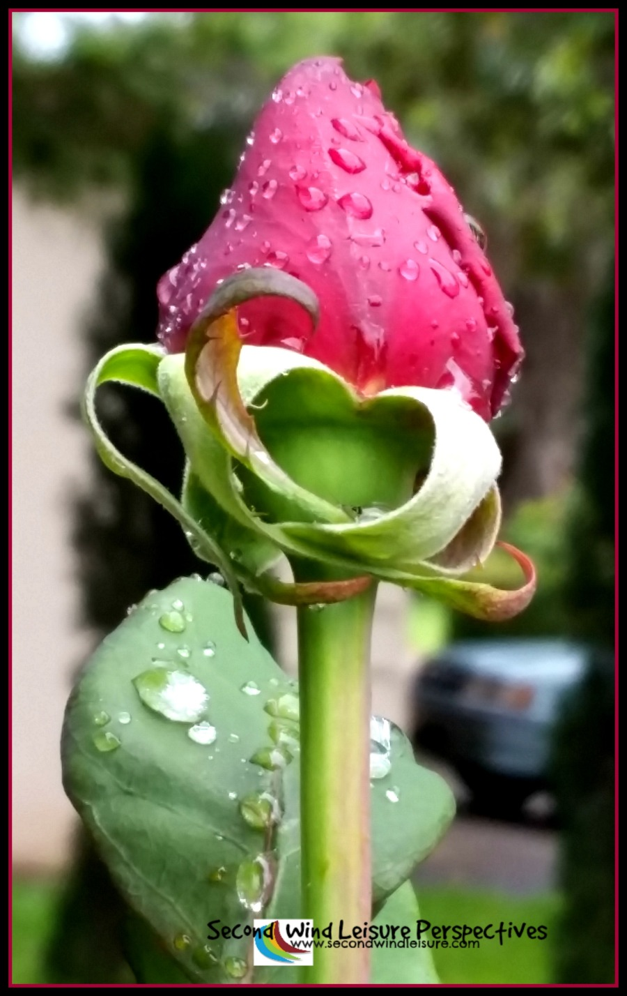 Raindrops sit delicately atop a spring rose bud