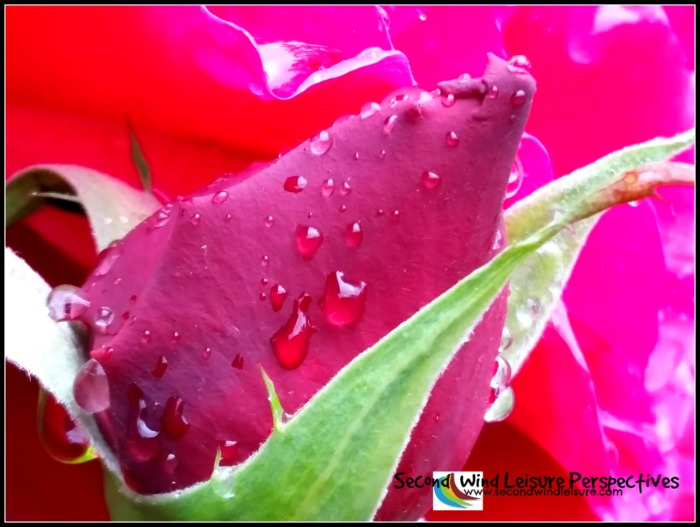 Raindrops sit atop an American Beauty rose bud