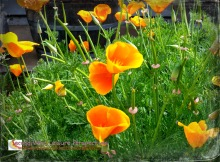 Happy spring poppies!