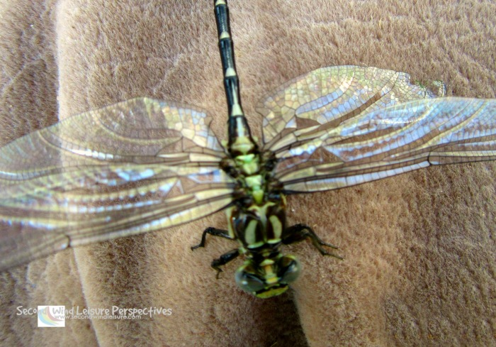 Top view of the dragonfly reveals something!