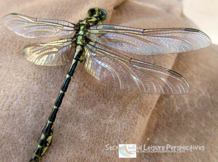 A close-up a an ordinary dragonfly