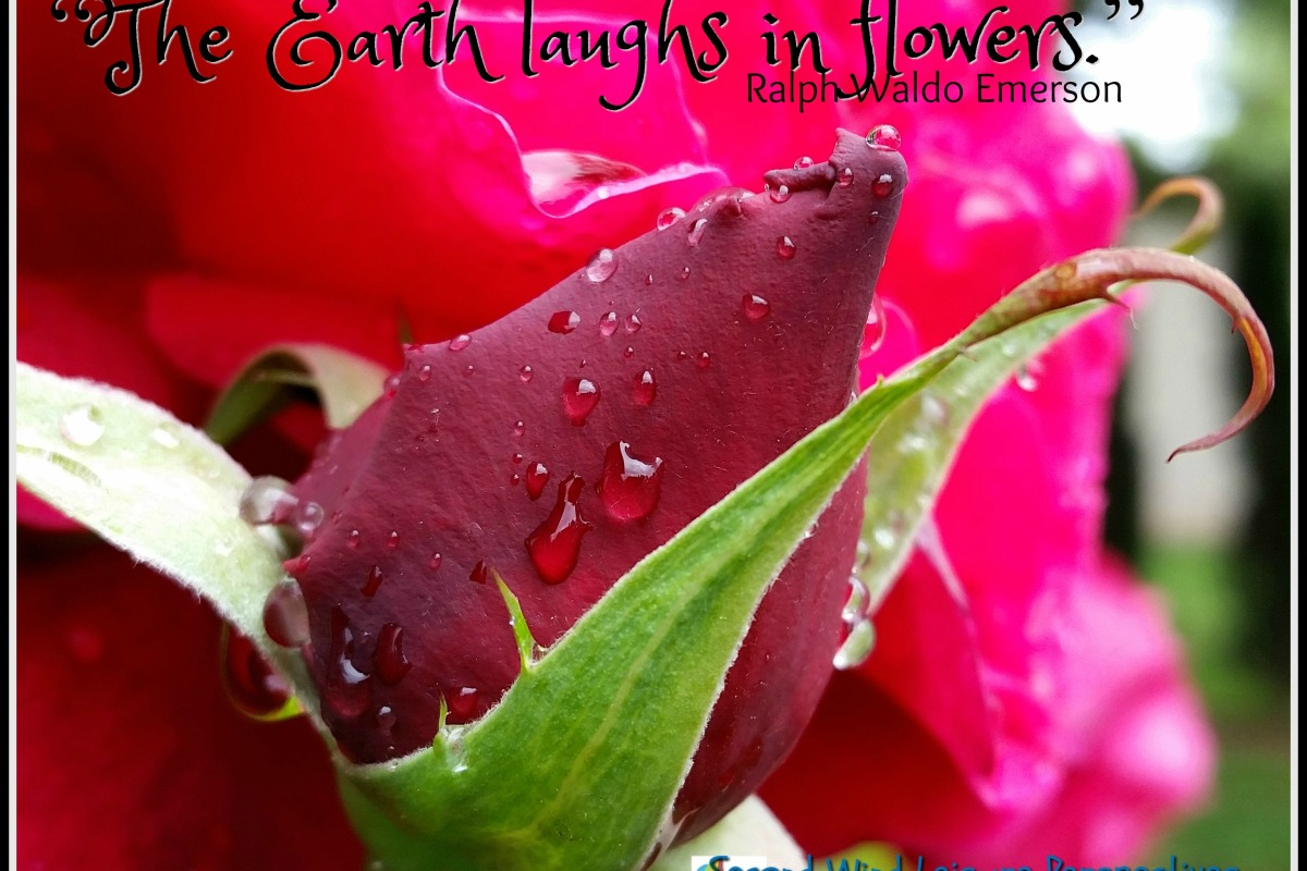 """American Beauty Rose, """"The Earth laughs in flowers."""" Quote by Ralph Waldo Emerson"""
