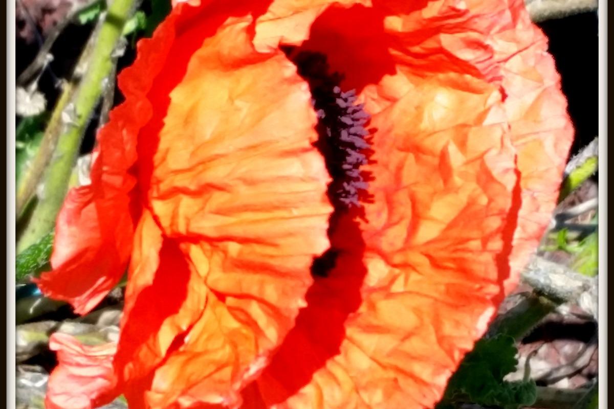 Macro photo of poppy
