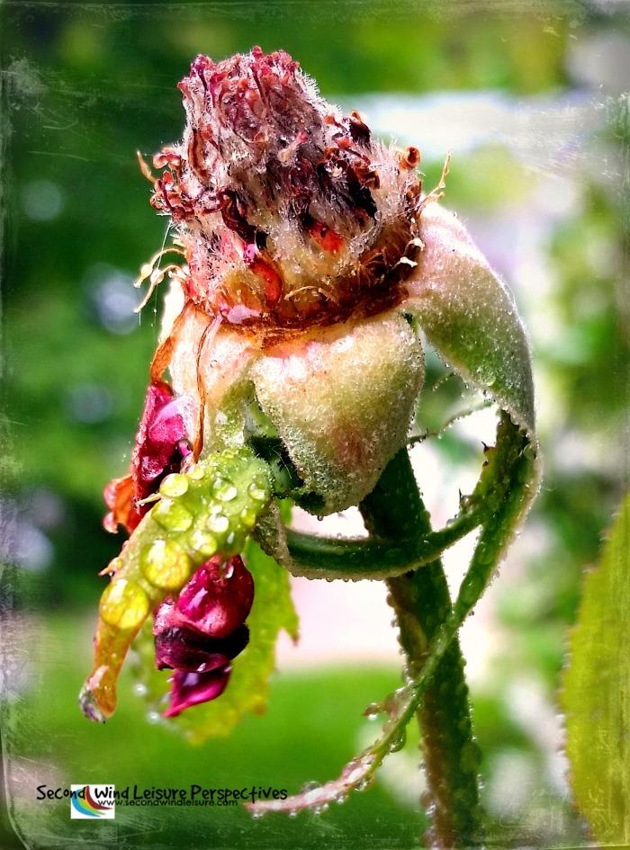 Dying rosebud still glorious