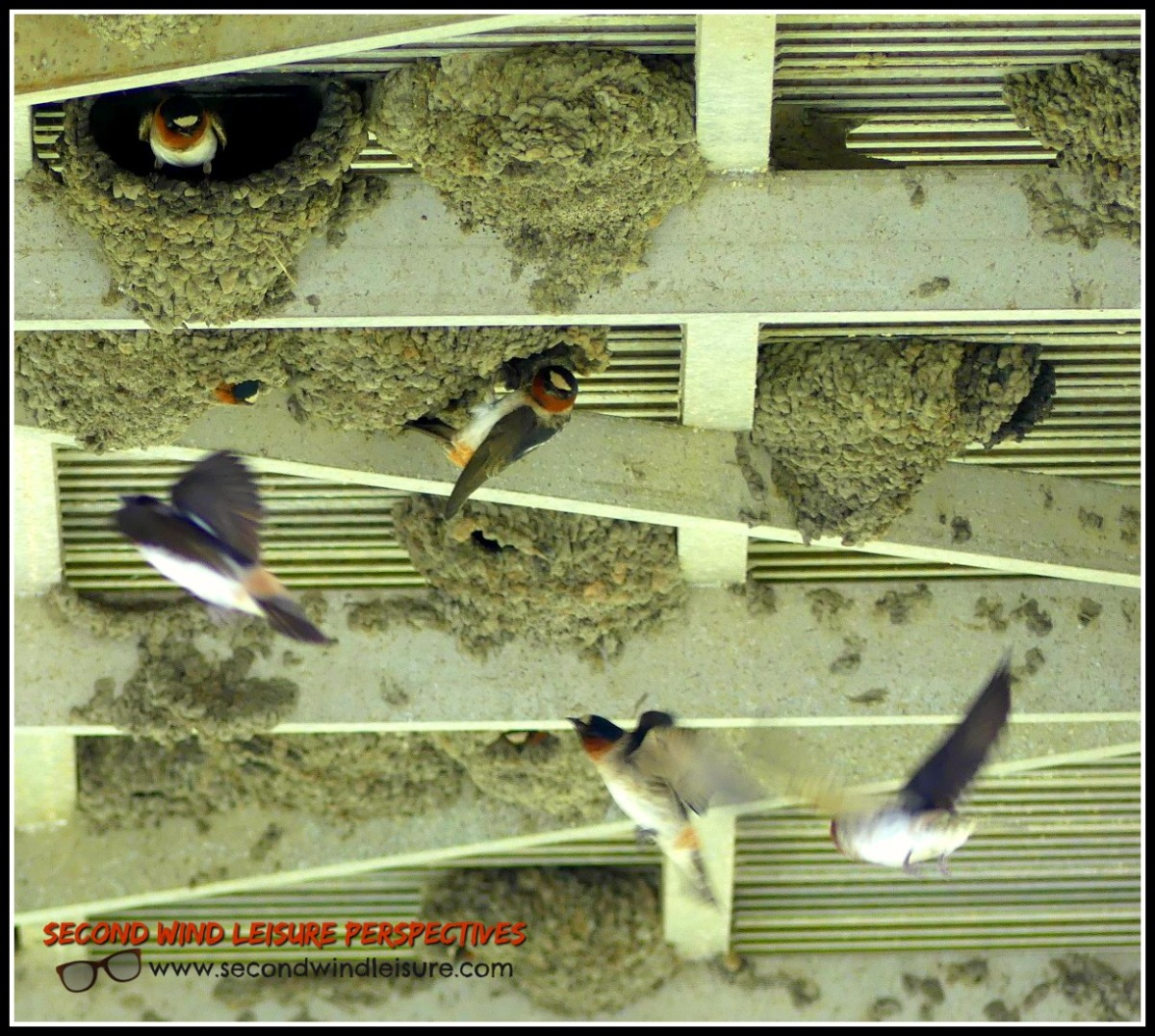 Swallow fly in chaos around their nests.