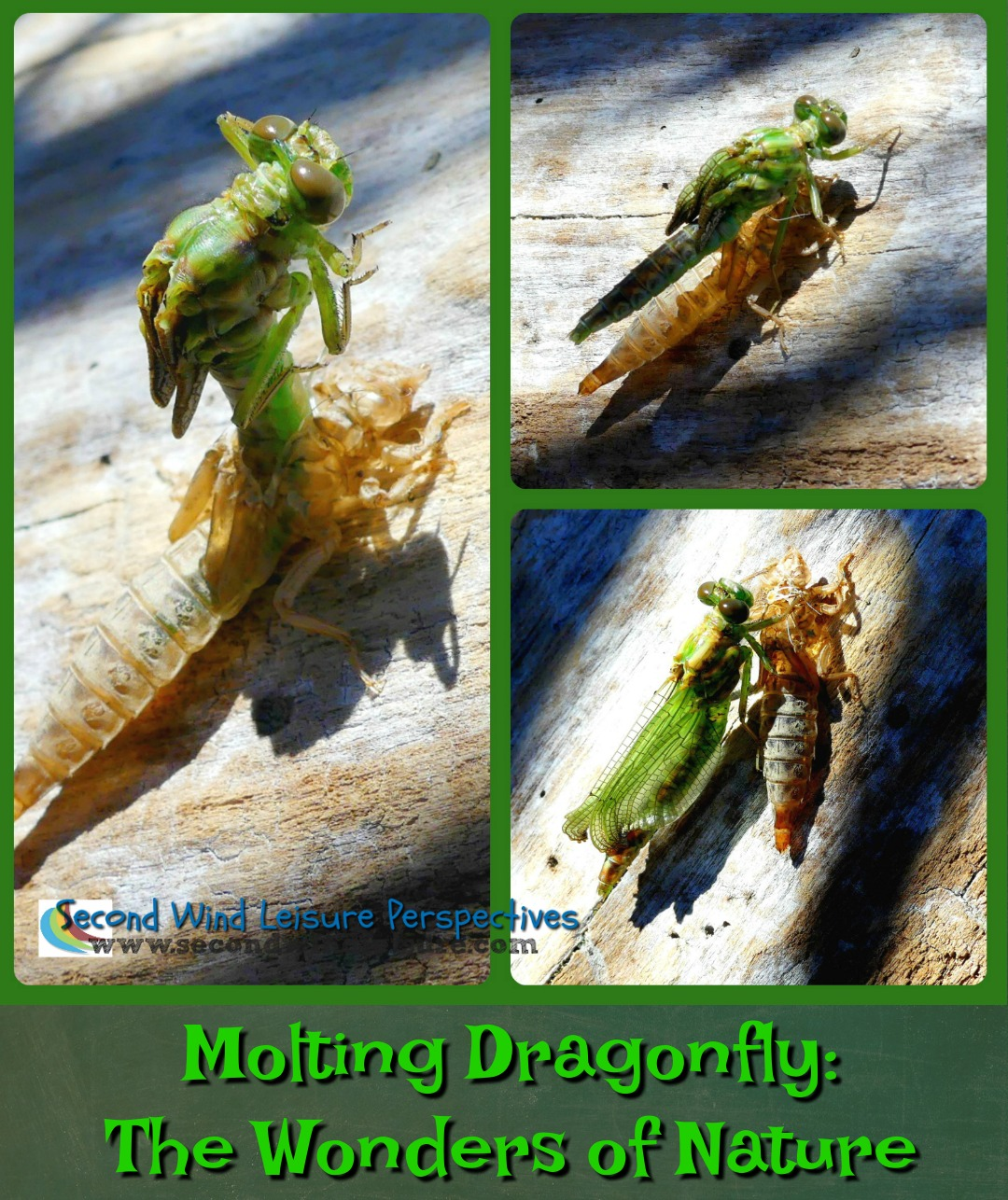 Molting Dragonfly: The Wonders of Nature
